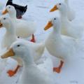 duck-s