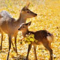 Deer in Nara park Japan/lovely fawn