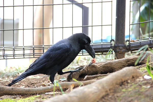 チャーミングなカラスに会いにいくなら、東京・上野公園への画像2