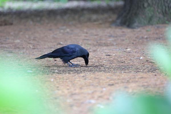 チャーミングなカラスに会いにいくなら、東京・上野公園への画像5