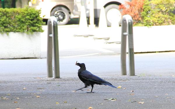 チャーミングなカラスに会いにいくなら、東京・上野公園への画像15