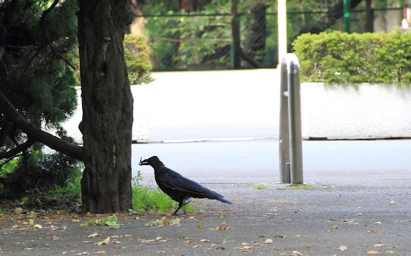 チャーミングなカラスに会いにいくなら、東京・上野公園への画像16